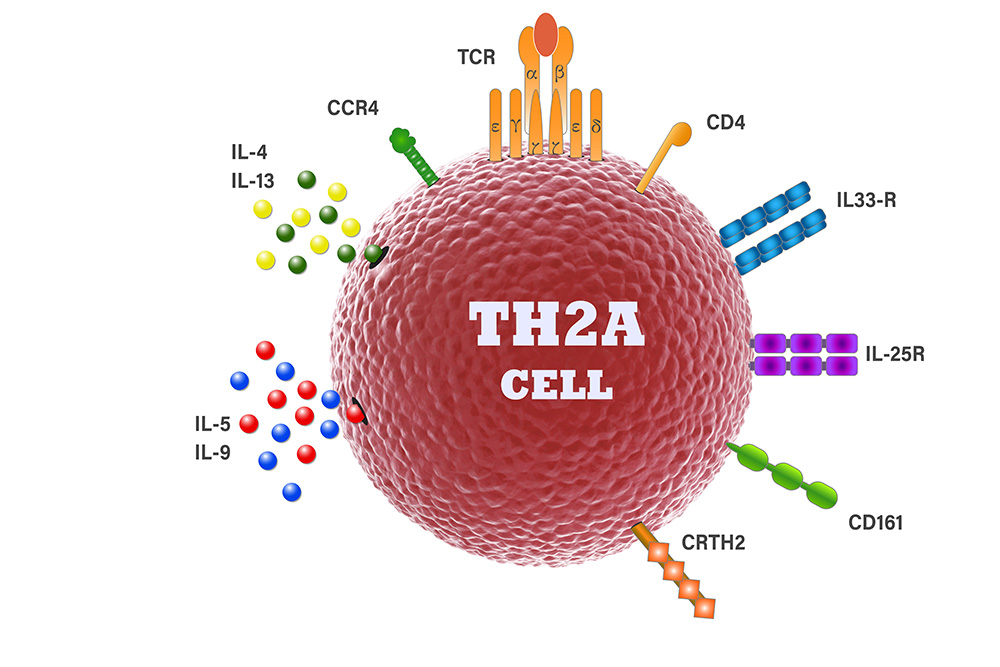 Image of TH2A cell - Erik Wambre, PhD, and colleagues discovered this single type of immune cell that appears to drive all allergies, TH2A. Image named th2a cell.