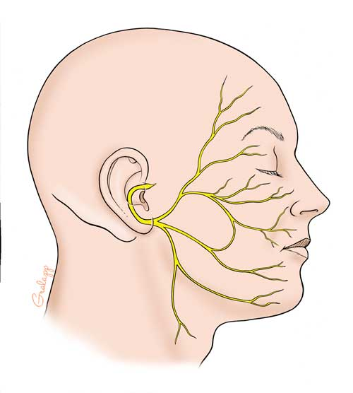drawing of facial nerves