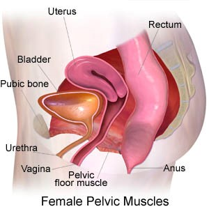 Normal pelvic support